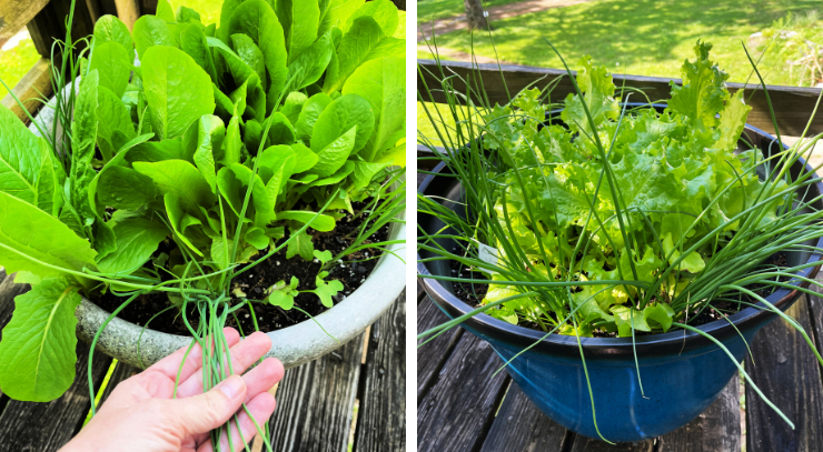 green leaf lettuce  and bunching onion plants in blue container and white container sitting on a deck