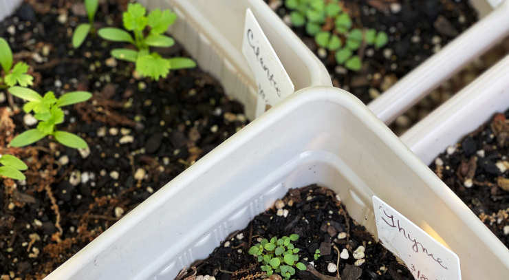 white plastic containers filled with potting soil and filled with herb plants